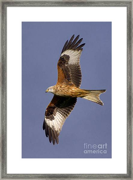 The Red Kite Framed Print