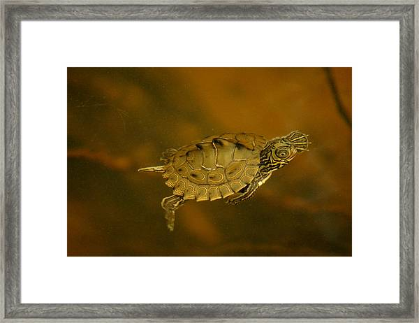 The Southeastern Map Turtle Framed Print
