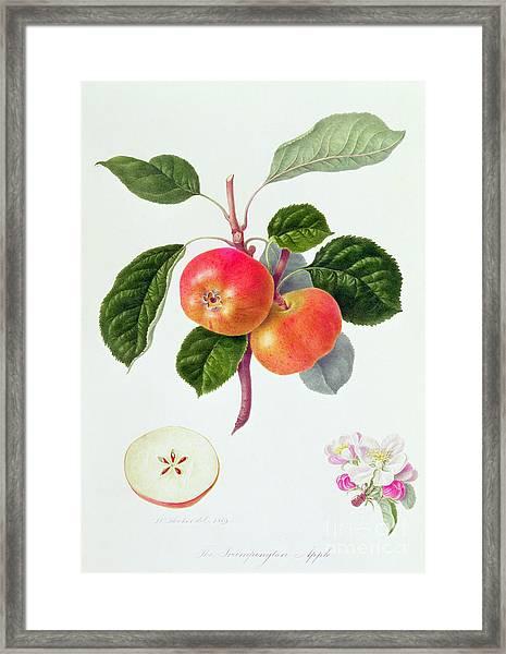 The Trumpington Apple Framed Print