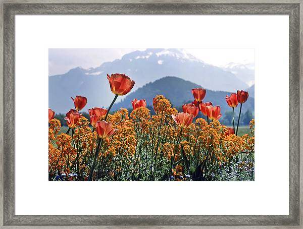 The Tulips In Bloom Framed Print