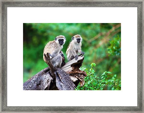 The Vervet Monkey. Lake Manyara. Tanzania. Africa Framed Print