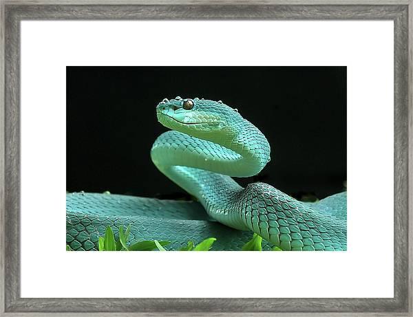The Viper Framed Print