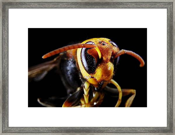 The Wasp 2 Framed Print