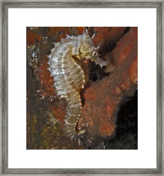 The White Seahorse Framed Print