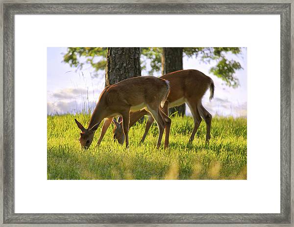 The Whitetail Deer Of Mt. Nebo - Arkansas Framed Print