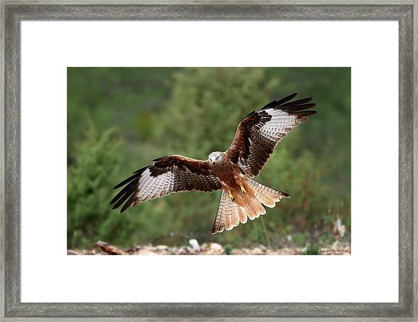 The Wings Of The Red Kite Framed Print