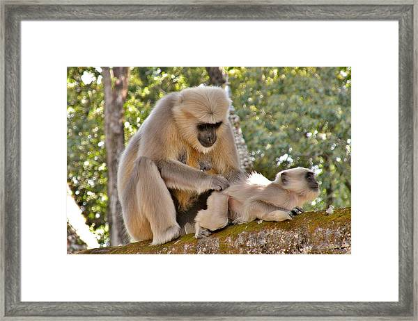 There Is Nothing Like A  Backscratch - Monkeys Rishikesh India Framed Print