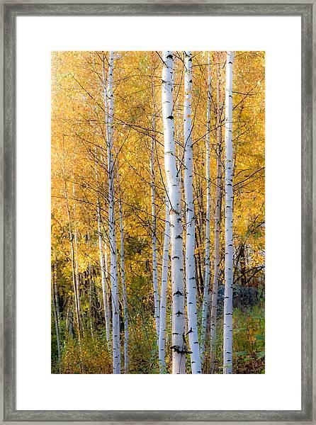 Thin Birches Framed Print