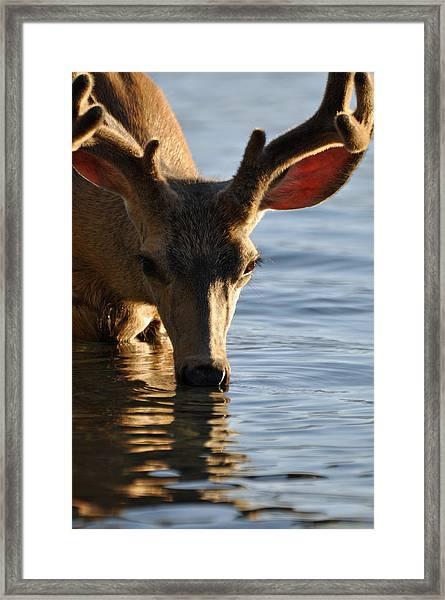 Thirsty Deer In Lake Mcdonald Framed Print