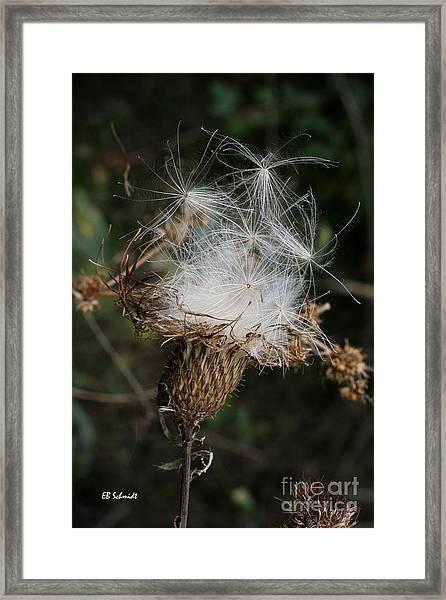 Thistle Seeds Framed Print