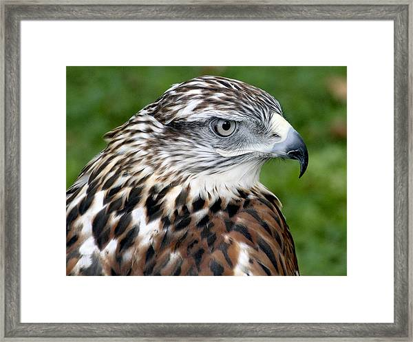 Framed Print featuring the photograph The Threat Of A Predator Hawk by Bob Slitzan