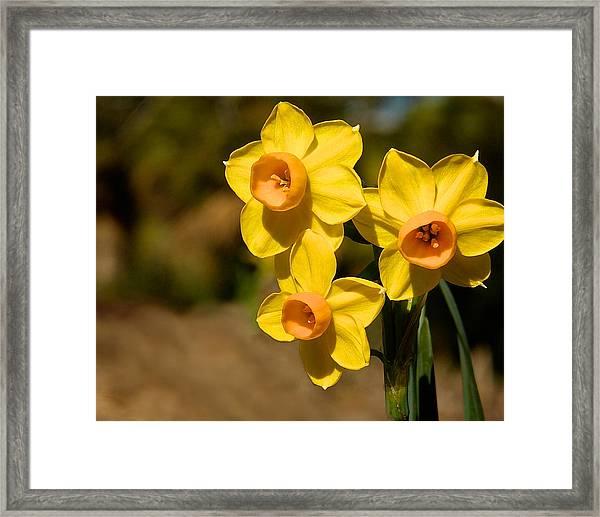 Three Daffodils Framed Print