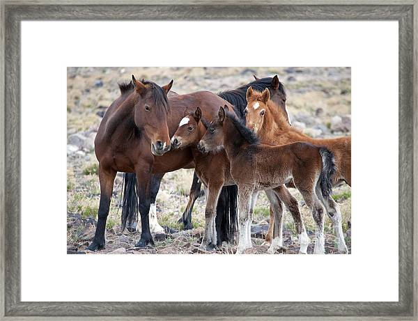 Three Foals Together Framed Print