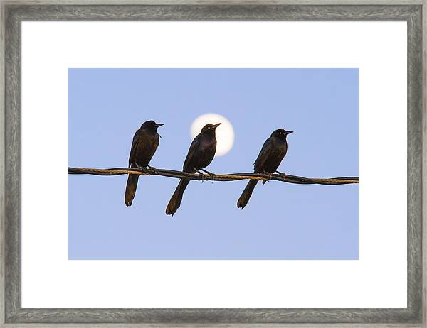 Three Grackles With Full Moon Framed Print