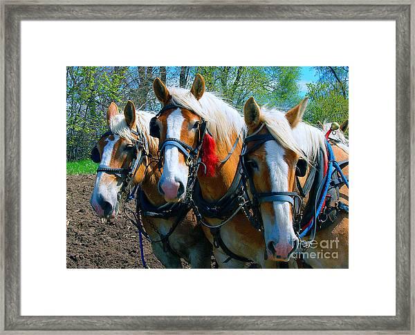 Three Horses Break Time  Framed Print