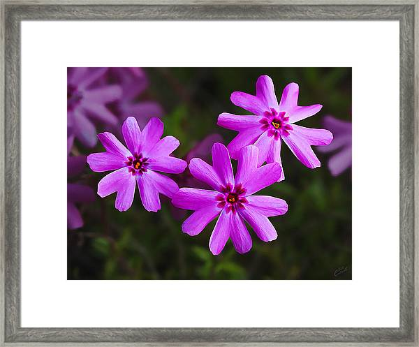 Three In The Pink Framed Print