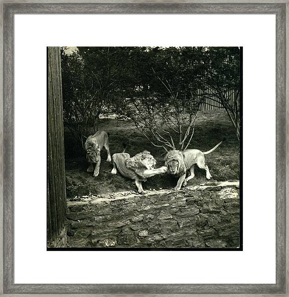 Three Lions At The Bronx Zoo In New York Framed Print