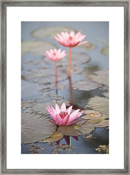 Three Lotus Flowers Framed Print
