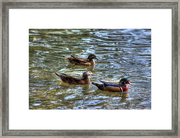 Three Mallard Ducks Framed Print
