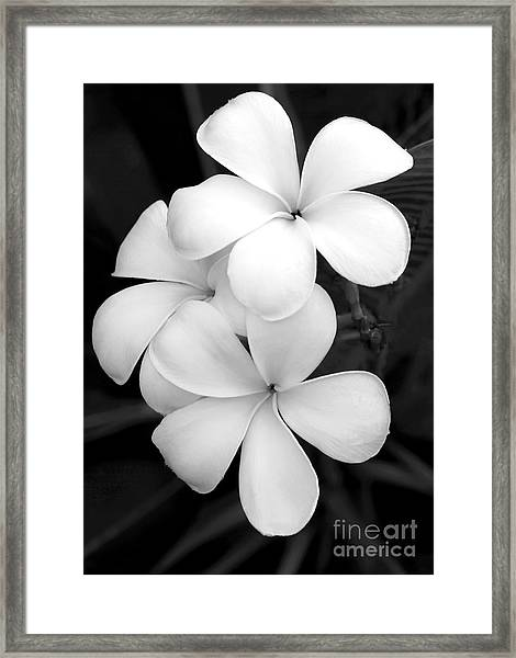Three Plumeria Flowers In Black And White Framed Print