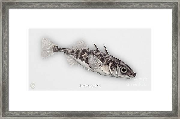 Three-spined Stickleback Gasterosteus Aculeatus - Stichling - L'epinoche - Espinoso - Kolmipiikki Framed Print