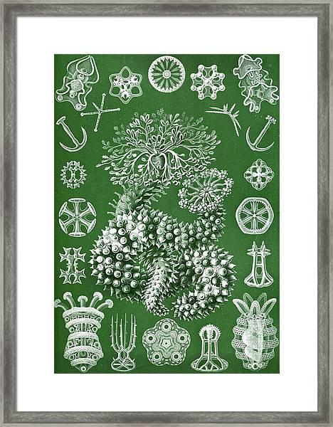 Thuroidea From Kunstformen Der Natur Framed Print