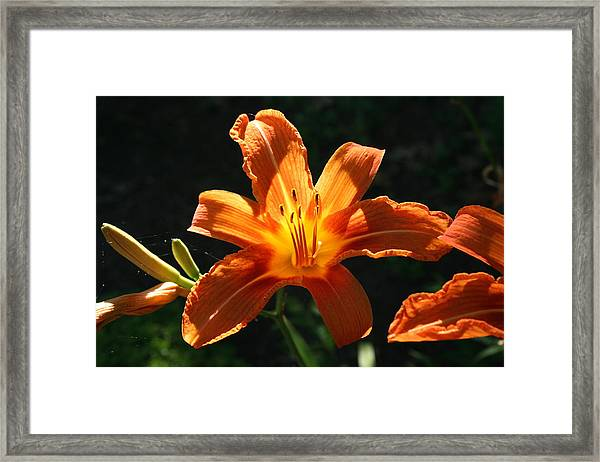 Tiger Lily 1 Framed Print