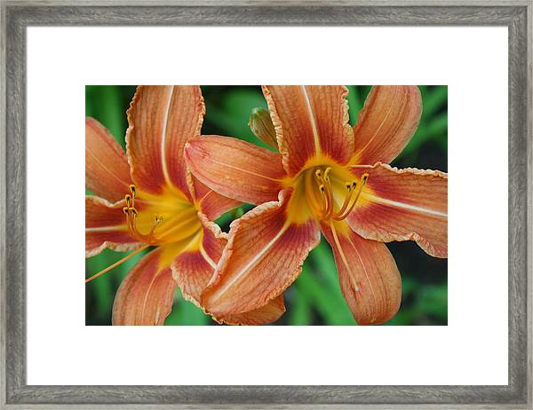Tiger Lily 3 Framed Print
