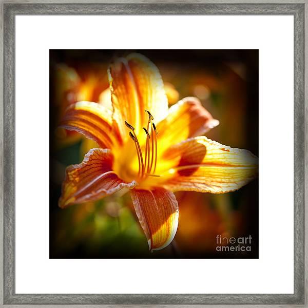 Tiger Lily Flower Framed Print