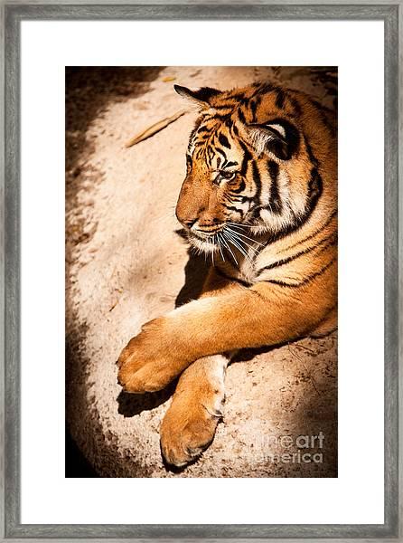 Tiger Resting Framed Print