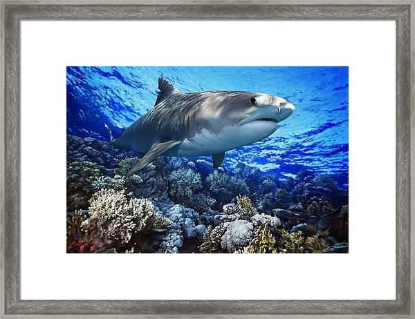Tiger Shark Galeocerdo Cuvier Framed Print by Owen Bell