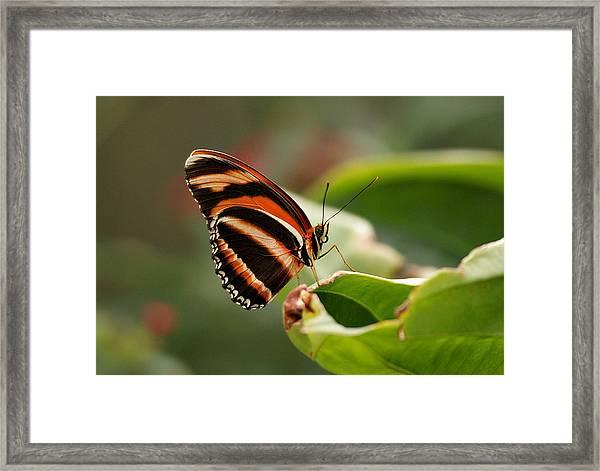 Tiger Striped Butterfly Framed Print
