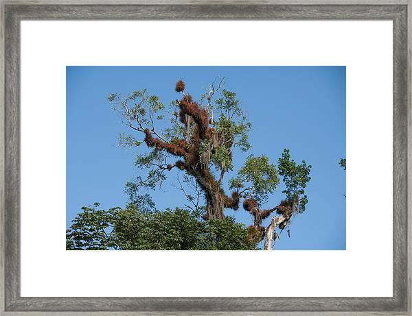 Tikal Furry Tree Framed Print