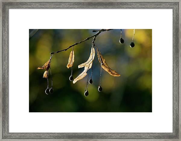 Tilia Platyphyllos Fruit Framed Print by Bob Gibbons