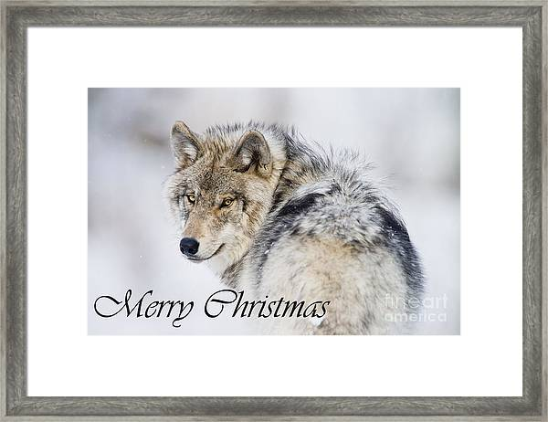 Timber Wolf Christmas Card 2 Framed Print