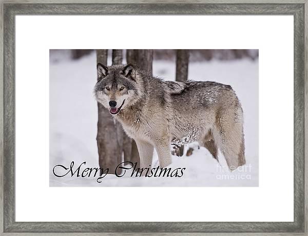 Timber Wolf Christmas Card English 3 Framed Print