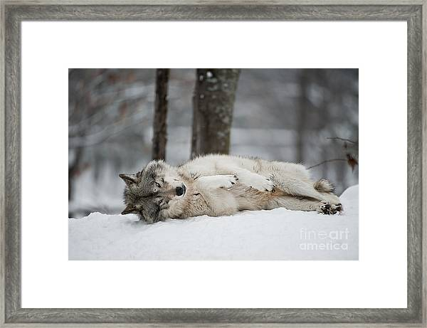 Timber Wolf In Winter Framed Print