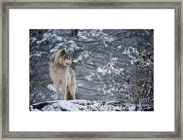 Timber Wolf Pictures 189 Framed Print