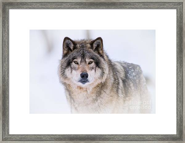 Timber Wolf Pictures 256 Framed Print