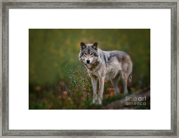 Timber Wolf Pictures 401 Framed Print