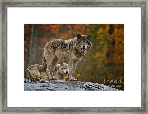 Timber Wolf Pictures 410 Framed Print
