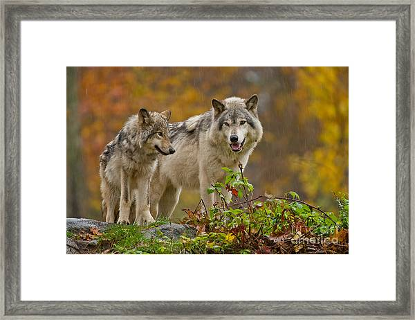 Timber Wolf Pictures 411 Framed Print