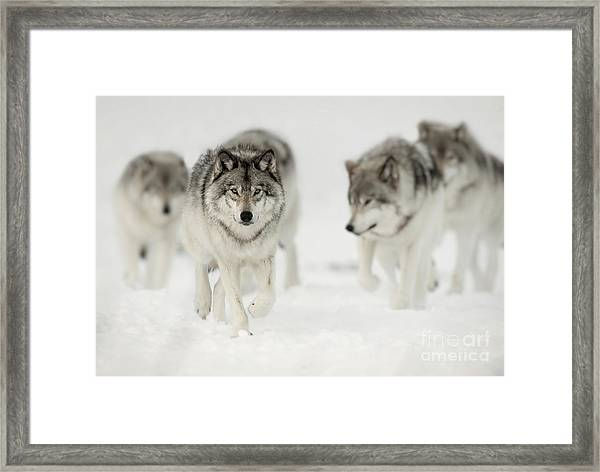 Timber Wolf Pictures 65 Framed Print