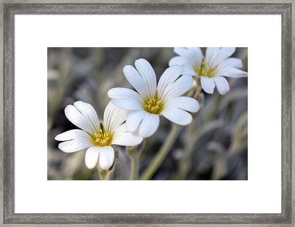 Tiny White Flowers #1 Framed Print