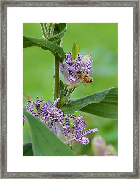 Toad Lily And Hover Fly Framed Print