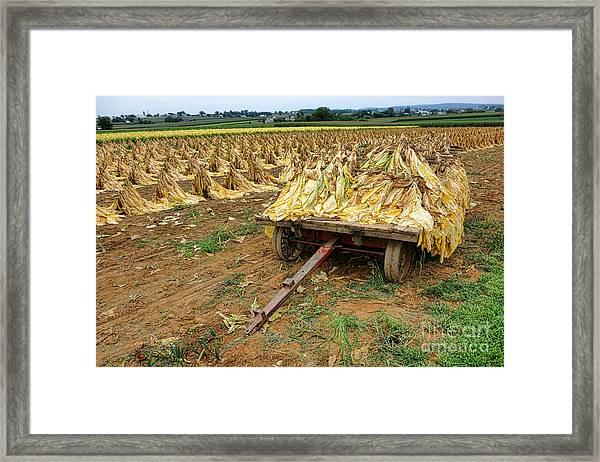 Tobacco Harvest Framed Print