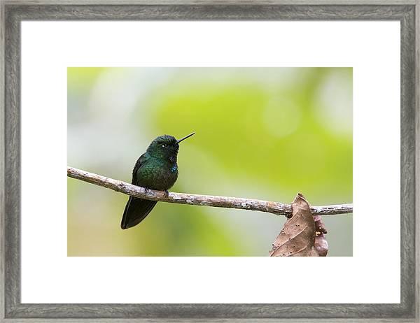 Tourmaline Sunangel Hummingbird Framed Print