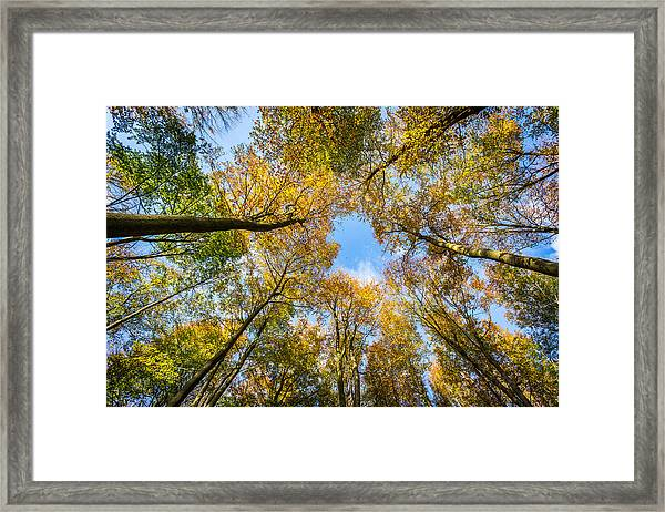 Towering Trees. Framed Print