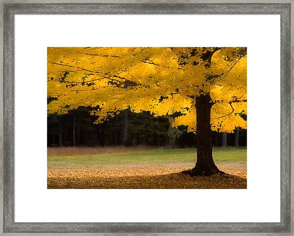 Tree Canopy Glowing In The Morning Sun Framed Print