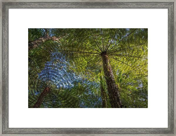 Tree Ferns From Below Framed Print